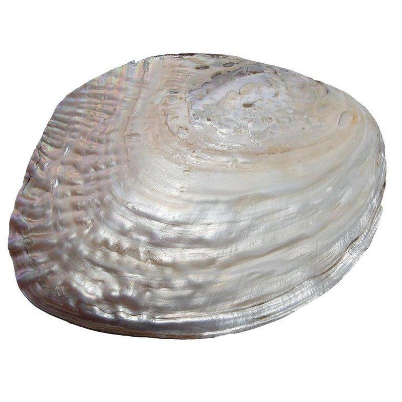 perlmutt muschel natur eingewachsener perle ca 15 x 10 cm